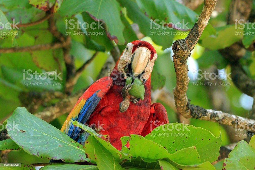 Scarlet Macaw bildbanksfoto