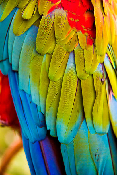 scarlet macaw - green winged macaw stock photos and pictures