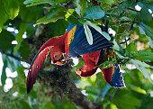 Scarlet Macaw at carara national park