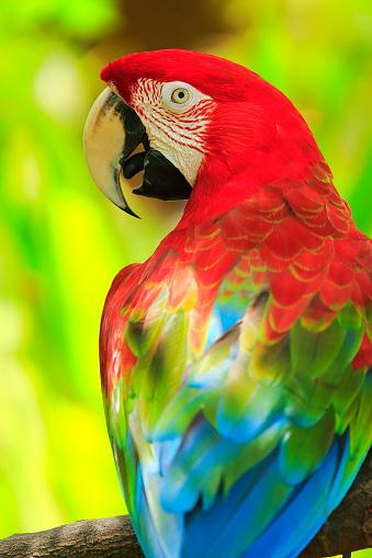 istock Scarlet macaw tropical BIRD, brazilian pantanal rainforest 537229226
