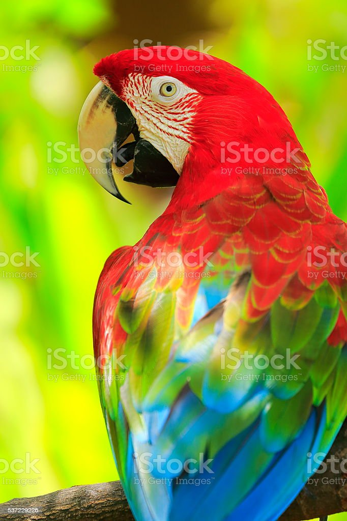 Scarlet macaw tropical BIRD, brazilian pantanal rainforest stock photo