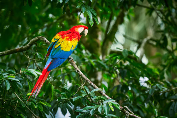 Scarlet Macaws, Ara macao, bird sitting on the branch. Macaw parrots in Costa Rica. Love scene from fain forest. stock photo