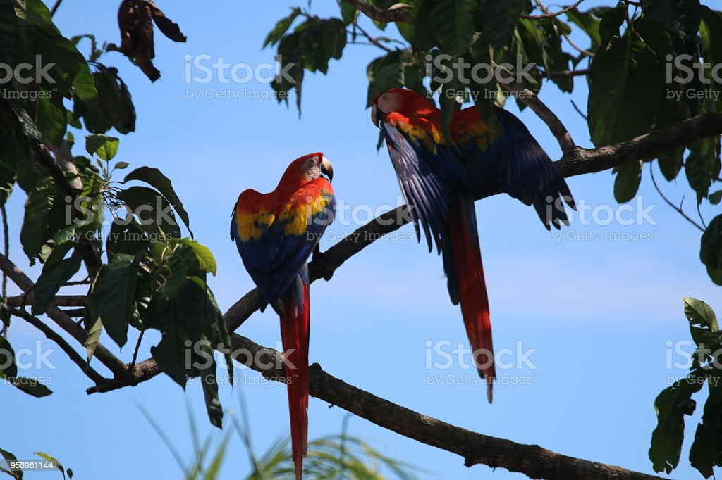 The scarlet macaw is a large red, yellow, and blue parrot, a member...
