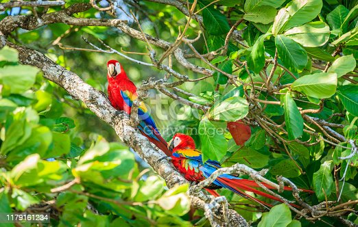 A pair of scarlet macaws on a tree in Corcovado National Park in Costa Rica