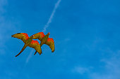 scarlet macaws, Ara macao, two beautiful parrots flying