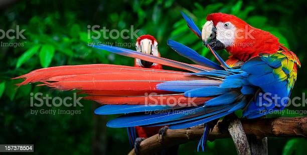 Scarlet macaws perched picture id157378504?b=1&k=6&m=157378504&s=612x612&h=q0sqgqrxafo3ammi zregycrb7a8ivv 3h0pcyhzo8g=