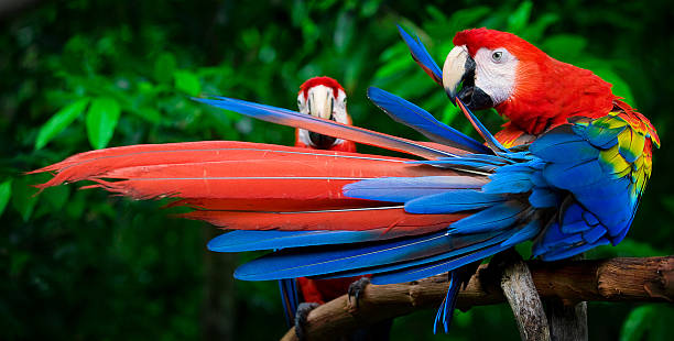 scarlet macaws perched stock photo
