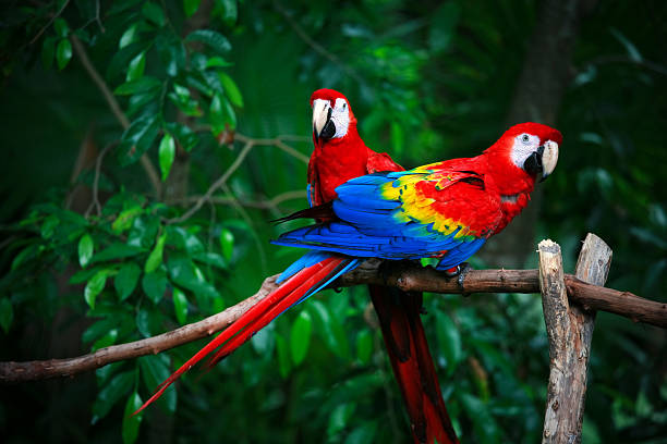 scarlet macaws scarlet macaw amazon river stock pictures, royalty-free photos & images
