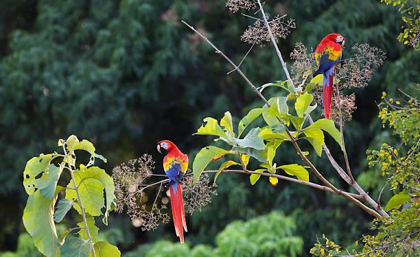 Scarlet macaws stock photo