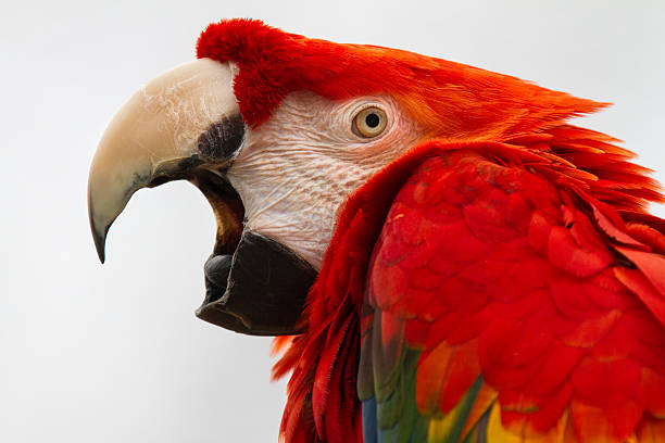 Scarlet Mcaw A scarlet mcaw opening his strong beak. animal call stock pictures, royalty-free photos & images