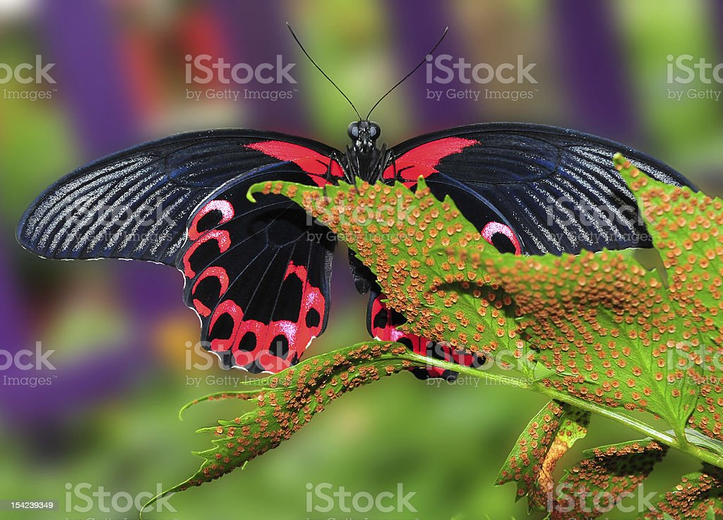 Scarlet Mormon Butterfly on leaf stock photo