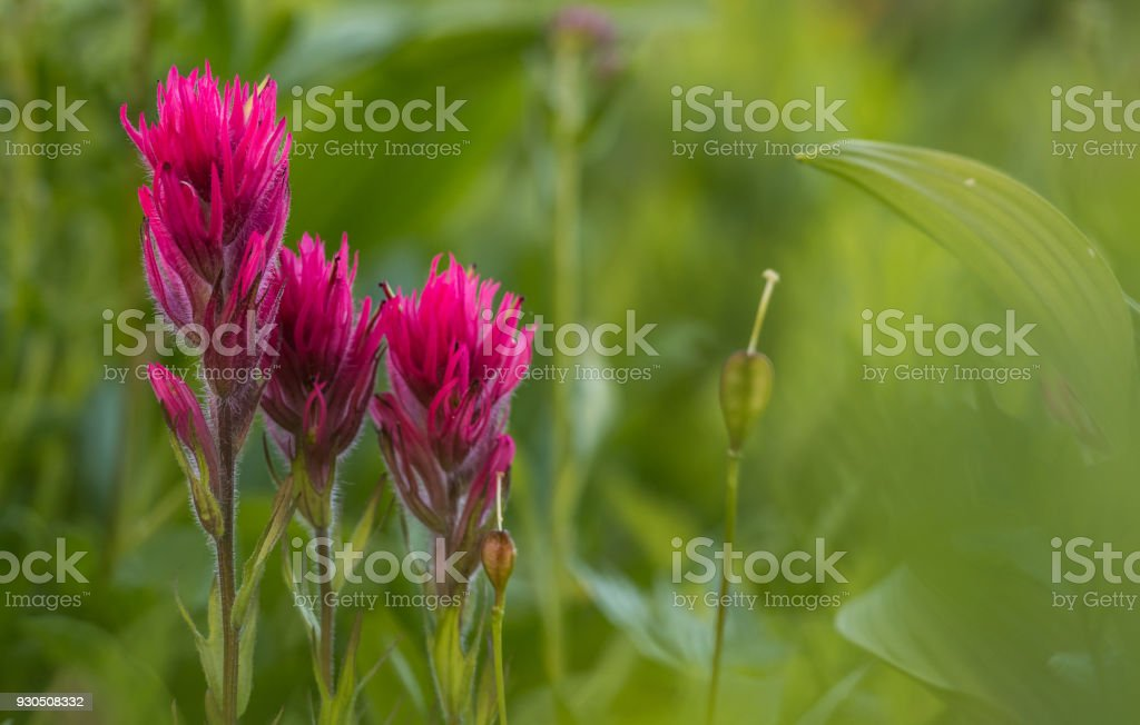 Scarlet Paintbrush with Copy Space stock photo