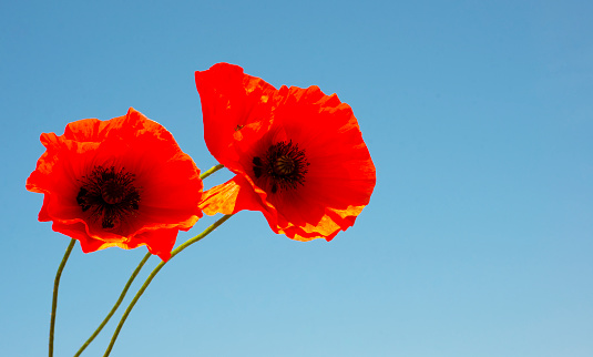 istock Scarlet poppies on a background of blue sky. Wildflowers. Banner. Copy space for text. 1250465378