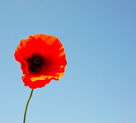 istock Scarlet poppy on a background of blue sky. Flower head. Copy space for text. 1250457595