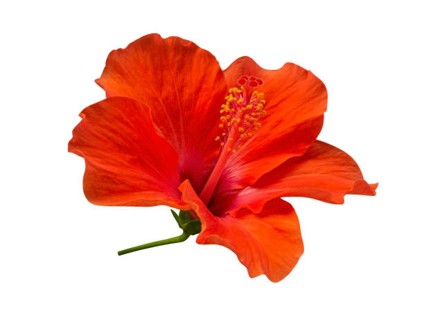 Scarlet red color hibiscus flower isolated on white background path picture id1093245882?b=1&k=6&m=1093245882&s=612x612&w=0&h=awmmszinzhn 3 chpdunwioclfgsxajmmx56j0nmdmk=