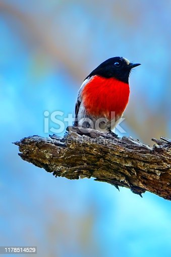 The scarlet robin is a common red-breasted Australasian robin in the passerine bird genus Petroica. The species is found on continental Australia and its offshore islands, including Tasmania.