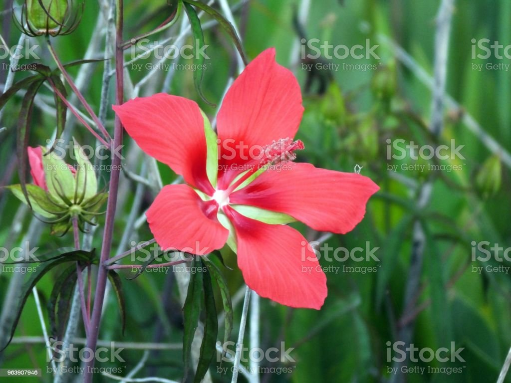 Scarlet Rose Mallow (Hibiscus coccineus) - Royalty-free Beauty In Nature Stock Photo
