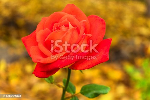 Scarlet rose against the background of yellow fallen leaves. Autumn rose.