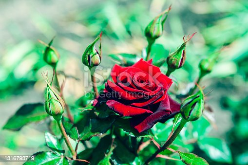 Scarlet rose with buds . Perfect red flower . Natural smell of flowers
