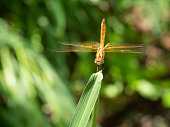 Scarlet Skimmer or Crimson Darter or Female Meadowhawk  dragonfly on pineapple leaf with natural green background, Tropical insect in Thailand