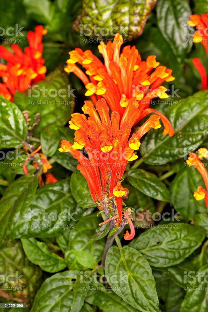 Scarlet Skullcap (Scutellaria costaricana) Flower stock photo