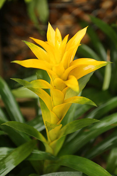 Scarlet Star / Guzmania Lingulata stock photo