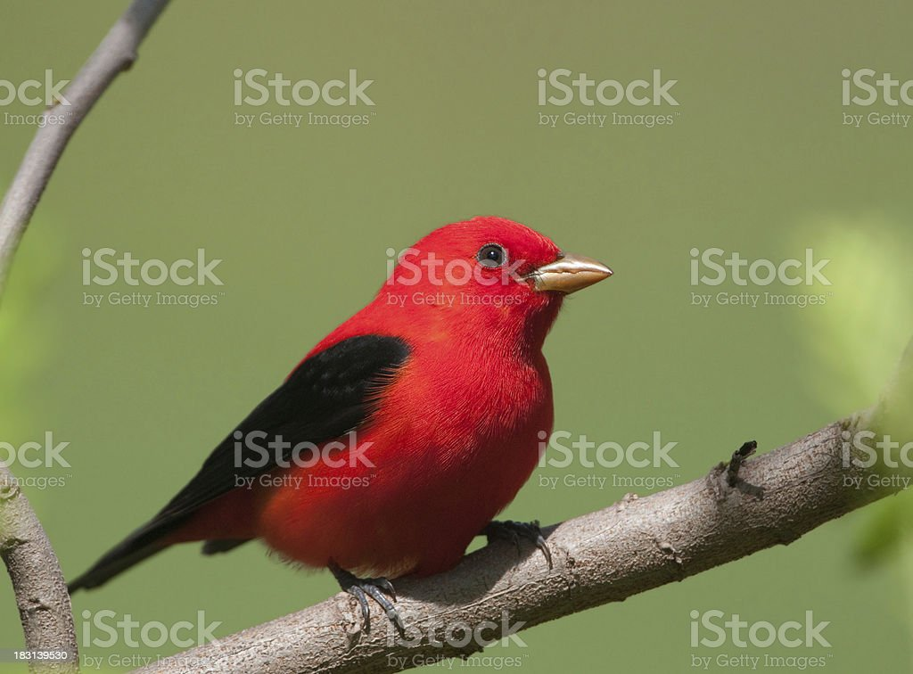 Scarlet Tanager royalty-free stock photo