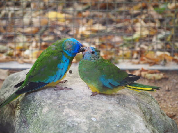 Scarlet-chested parrots (Neophema splendida), known alternately as scarlet-breasted parrot, orange-throated parrot or splendid parrot kissing Villars-les-Dombes, France – August 31, 2018: photography showing two scarlet-chested parrots (Neophema splendida), known alternately as scarlet-breasted parrot, orange-throated parrot or splendid parrot kissing. The photography was taken from the village of Villars-les-Dombes, France. alternately stock pictures, royalty-free photos & images