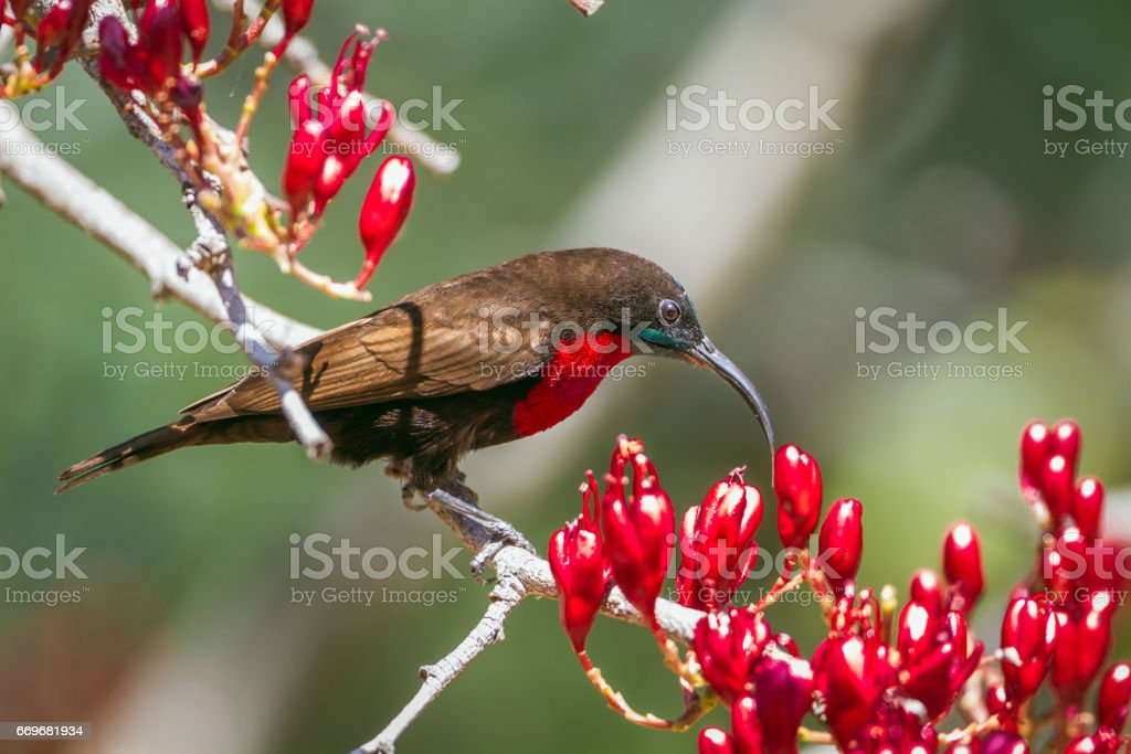 Beija-flor-de-peito-escarlate no Kruger national park, África do Sul - foto de acervo