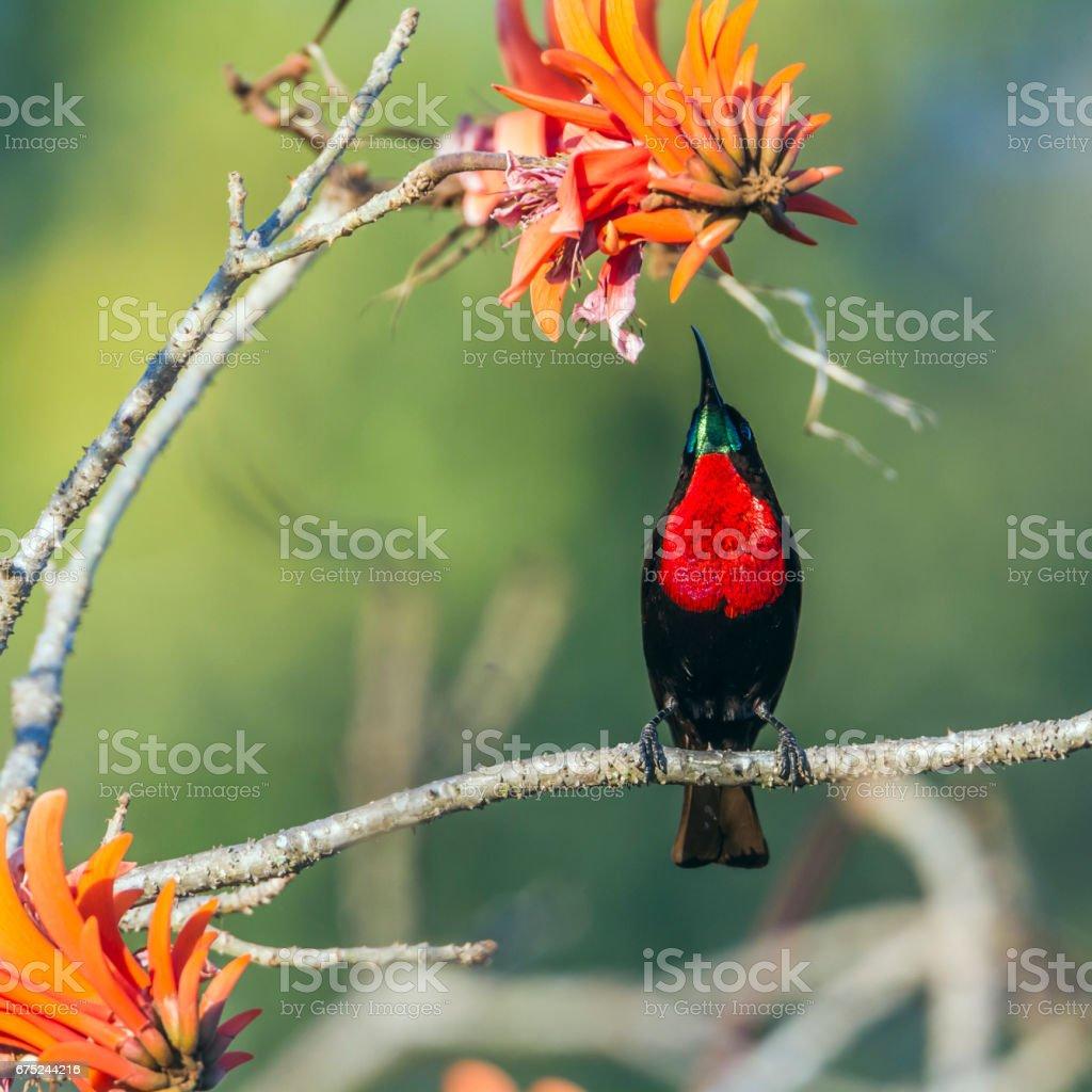 Beija-flor-de-peito-escarlate no Parque Nacional Kruger, na África do Sul - foto de acervo