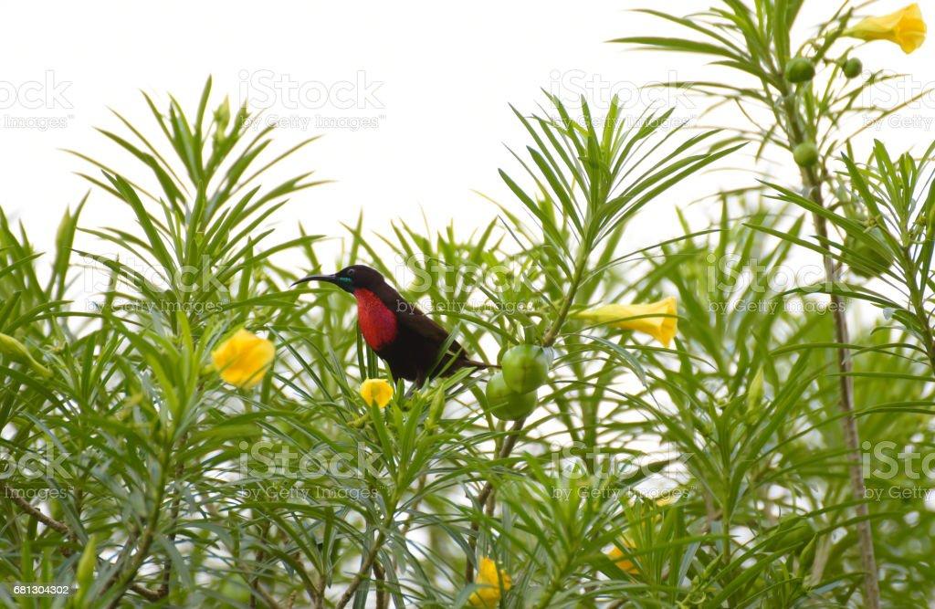 Scarlet-chested Sunbird of Rwanda - foto de acervo