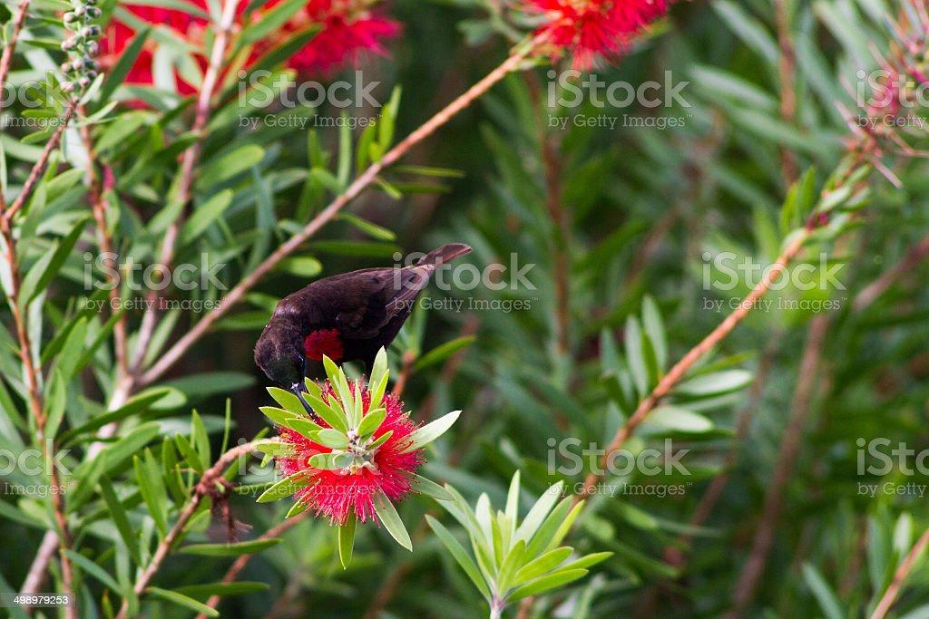 Beija-flor-de-peito-escarlate em uma flor - foto de acervo