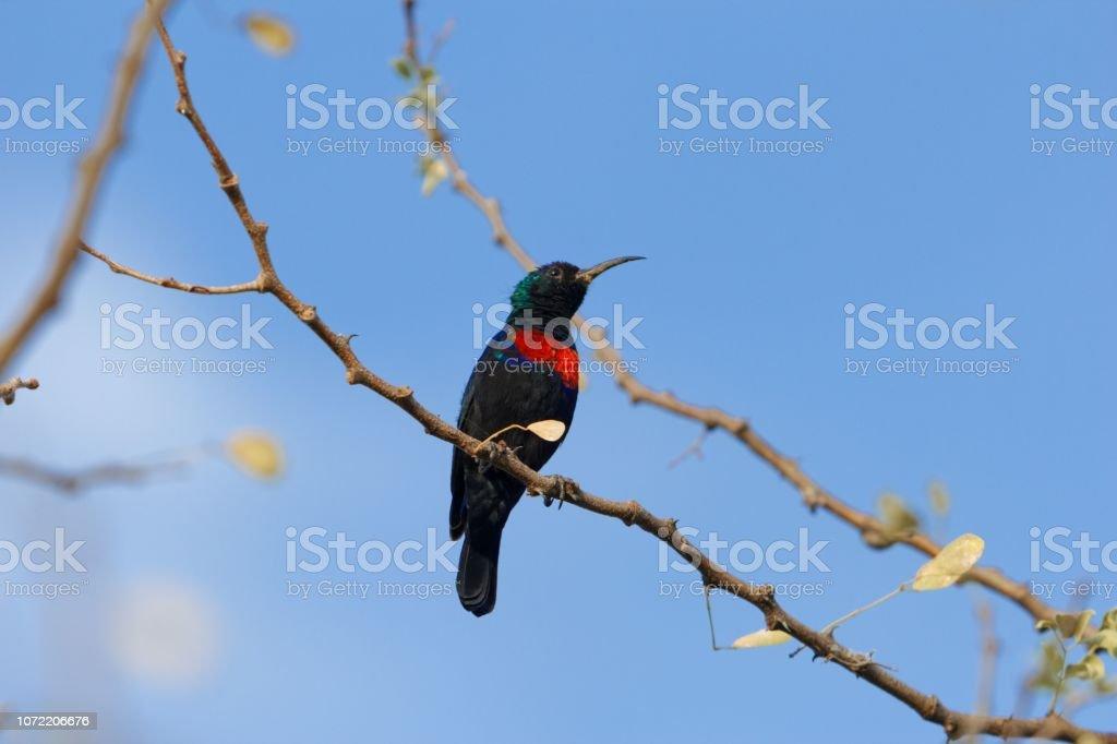Beija-flor-de-peito-escarlate (Chalcomitra senegalensis) - foto de acervo