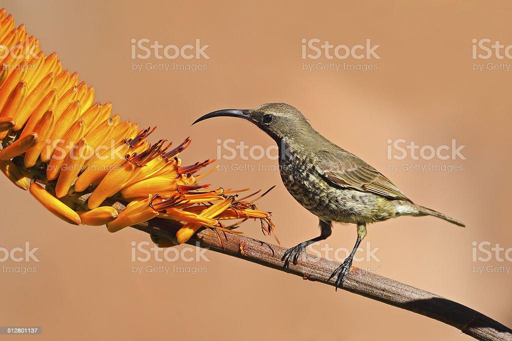 Beija-flor-de-peito-escarlate - foto de acervo
