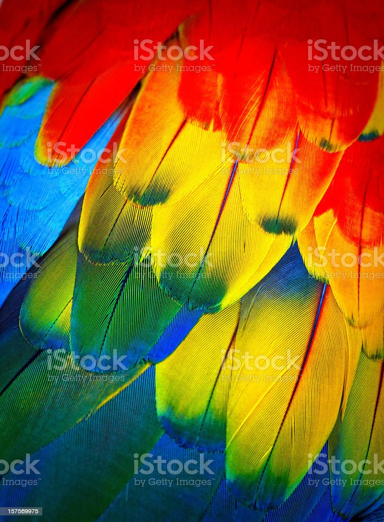 Scarlett macaw feathers stock photo
