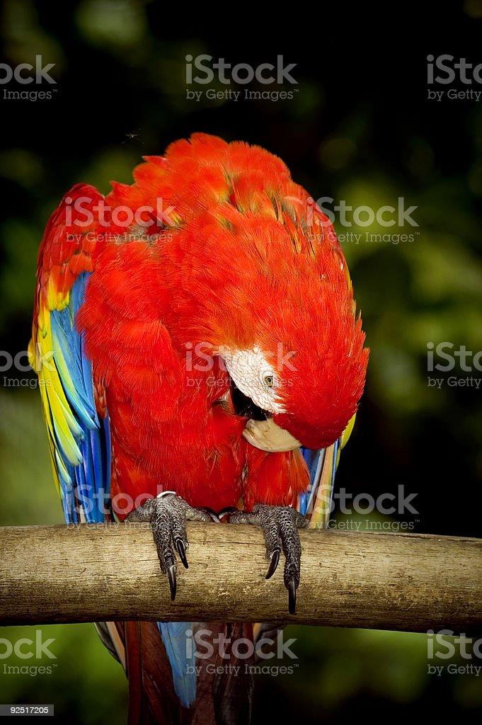 Scarlett Macaw stock photo
