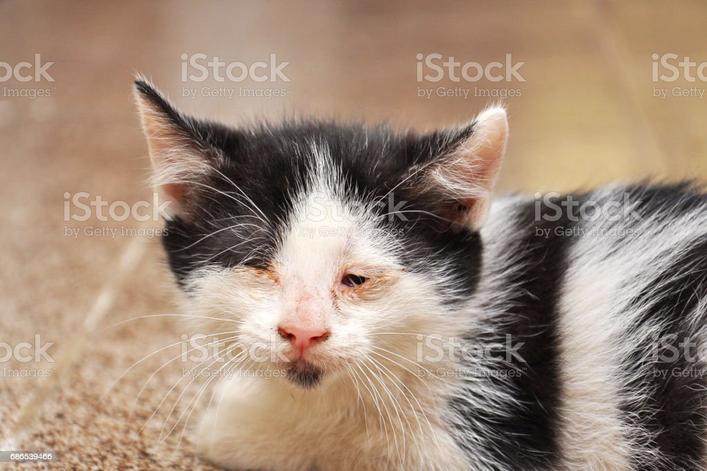 Scary abandoned kitty with sick eyes needs veterinary assist. foto stock royalty-free