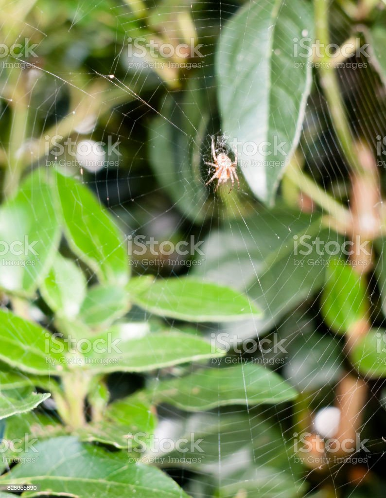 scary creepy crawly spider (Zilla diodia) waiting attached to web up close uk outside leaves stock photo
