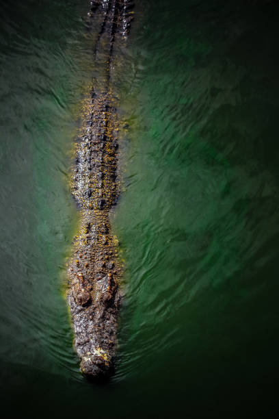 Scary Crocodile on dark water surface A gigantic scary crocodile swimming in dark water surface deathly stock pictures, royalty-free photos & images