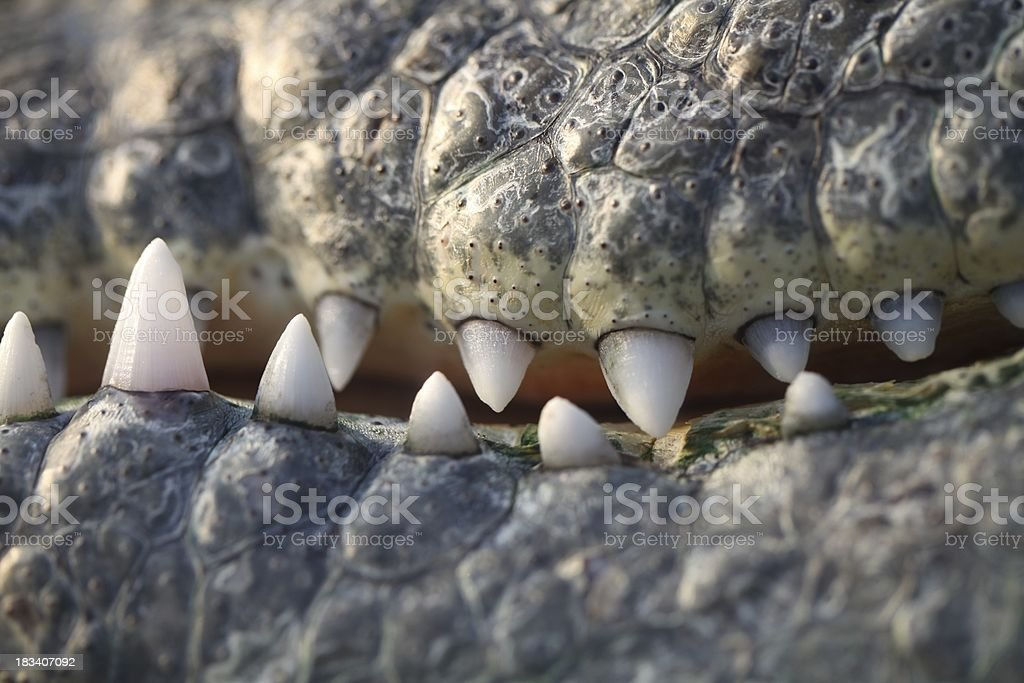 Scary Crocodile Teeth royalty-free stock photo