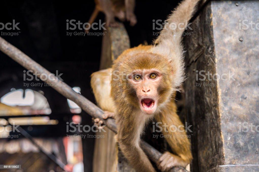 Scary Rhesus Macaque Monkey at swayambhunath Monkey Temple in Kathmandu, Nepal stock photo