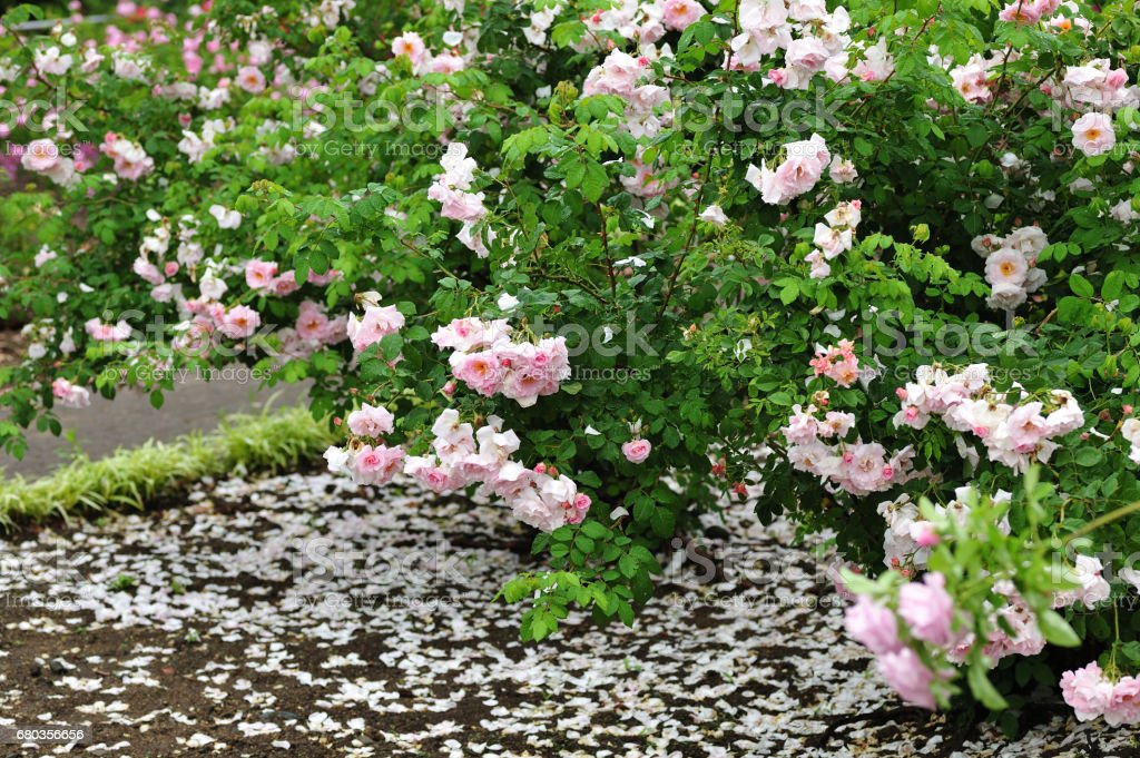 scattered petals of roses royalty-free stock photo