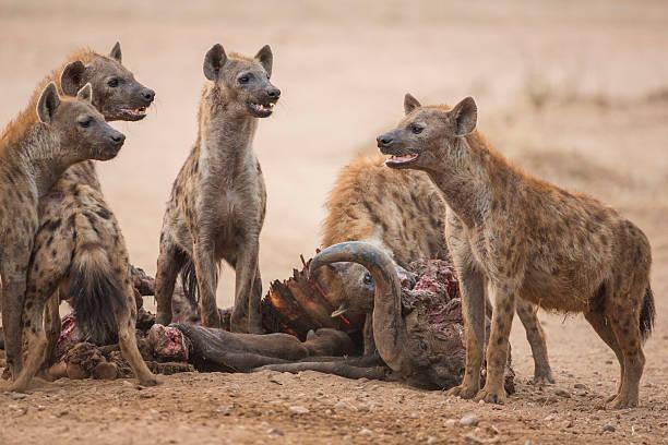scavengers' delight - hyena stockfoto's en -beelden