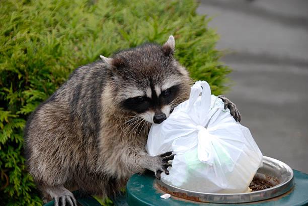 Se nourrir des restes de raton laveur - Photo