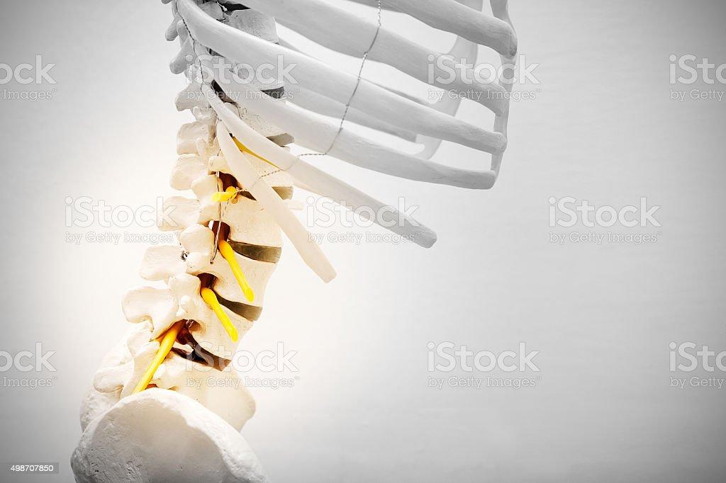 Sceleton model lumbar region stock photo
