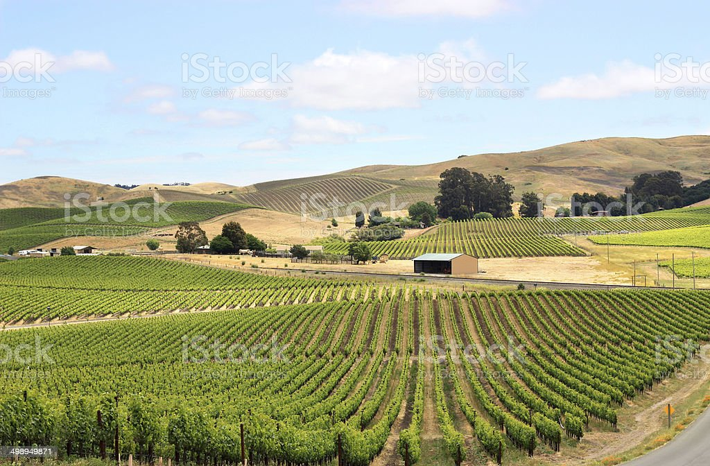 Scene of vineyard field in napa valley stock photo