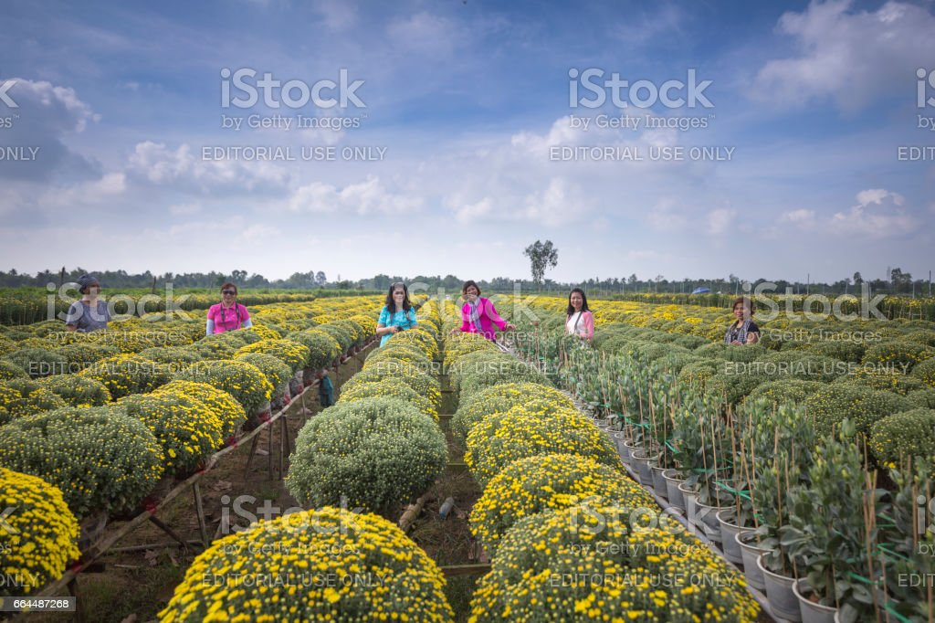 scene of yellow daisy fields in Sa Dec village, Dong Thap province, Vietnam stock photo