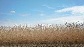 Scenery of Japanese pampas grass field