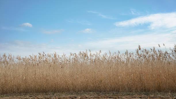 scenery of japanese pampas grass field - chinaschilf stock-fotos und bilder