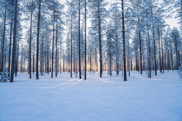 Scenery of tall trees in wild winter destination in national park in northern europe, beautiful white firs covered with frost and ice in wood in Finland stock photo